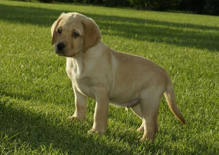 Labrador cane da appartamento ~ Decora la tua vita