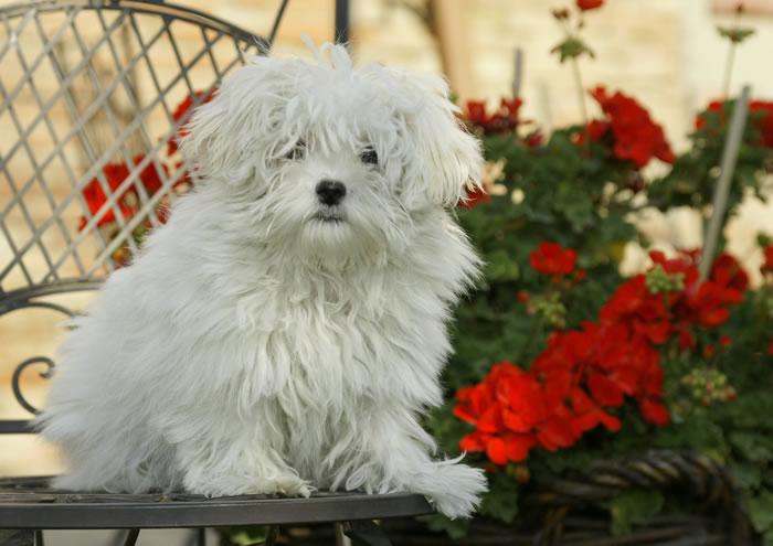cane razza maltese | canimaltesi.it