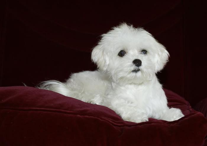 Allevamento cuccioli di cane maltese con pedigree for Cane razza maltese