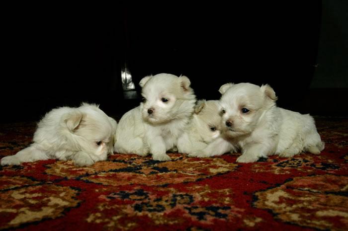 Maltesi cuccioli for Cane razza maltese